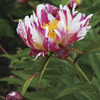 Image of Twitterpated Peony