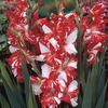 Image of Zizane Gladiolus