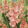 Image of Fringed Coral Lace Gladiolus