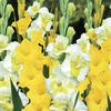Image of Lemon Ice Blend Gladiolus