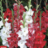 Image of Peppermint Blend Gladiolus