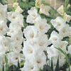 Image of White Prosperity Gladiolus