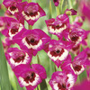 Image of Vandohla Gladiolus