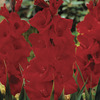 Image of Oscar Gladiolus