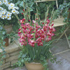 Image of Emily Glamini Gladiolus