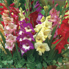 Image of Glamini Mix Gladiolus