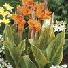 Image of Pretoria Variegated Canna