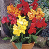 Image of Dwarf Canna Mix