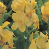 Image of Yellow Futurity Canna