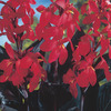 Image of Red Futurity Canna