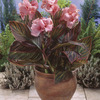 Image of Pink Sunburst Canna