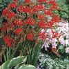 Image of Lucifer Crocosmia