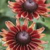 Image of Cherry Brandy Rudbeckia