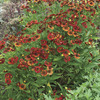 Image of Red Jewel Helenium