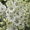 Image of Black Eyed Angels Delphinium