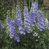 Image of Morning Lights Deliphinium