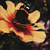 Image of Date Happy Single Dahlias