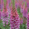 Image of Candy Mountain Foxglove