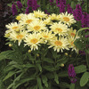 Image of Banana Cream Shasta Daisy