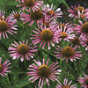 Image of All That Jazz Coneflower