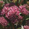 Image of Abbeydore Stonecrop