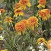 Image of Marmalade Double Coneflower