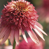 Image of Irresistible Double Coneflower