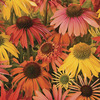 Image of Summer Cocktail Coneflower