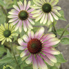 Image of Green Envy Coneflower