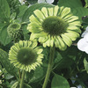 Image of Green Jewel Coneflower