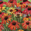 Image of Sundown Coneflower