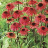 Image of Raspberry Truffle Double Coneflower
