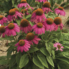 Image of PowWow Wild Berry Coneflower