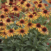 Image of Flame Thrower Coneflower