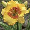 Image of Irresistable Charm Daylily