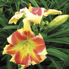 Image of Tropical Passion Daylily