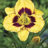 Image of Calico Jack Daylily