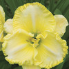Image of First Knight Daylily
