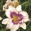 Image of Blueberry Sundae Daylily
