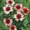 Image of Light My Fire Potentilla