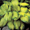 Image of Stained Glass Hosta