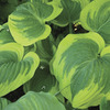Image of Broad Band Hosta