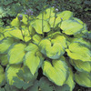 Image of Old Glory Hosta