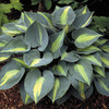 Image of Touch of Class Hosta