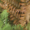 Image of Autumn Brilliance Fern