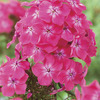 Image of Watermelon Punch Hardy Garden Phlox