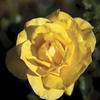 Image of Sunsprite Rose
