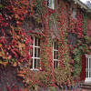 Image of Virginia Creeper