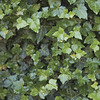 Image of Hardy English Ivy