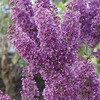 Image of Bloomerang Lilac